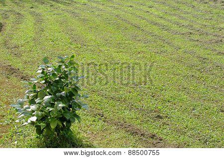 Green Camellia Plant