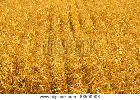 Corn Field In An Autumn Background