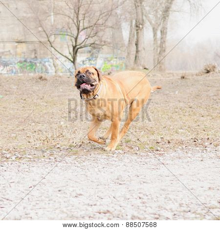 Junior Dog Bulmastiff
