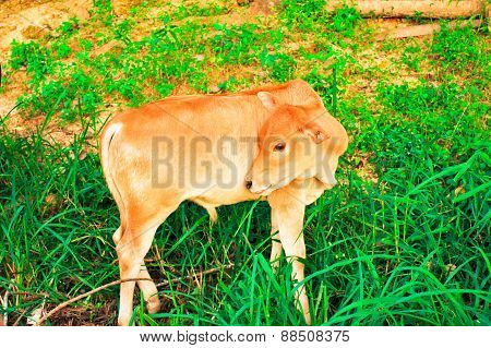 Young Baby Cow  Relex On  Fresh Green Grass And Soil Ground, Culture Thai Agriculture Vintage Style