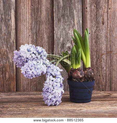 Growing Hyacinth Flower In Flowerpot On Wooden Background