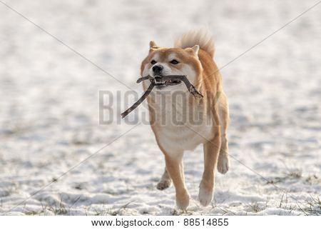 Shiba Inu Dog Running On Snow With Stick