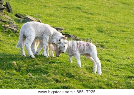Three Lambs Playings