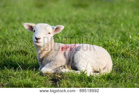 Spring Lamb Lying In Field In Evening Sun