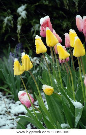 Pink And Yellow Tulip Under Snow