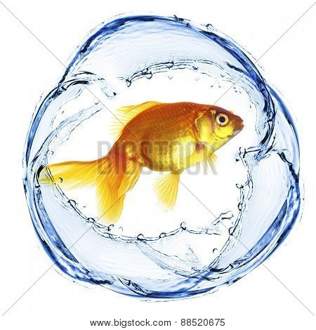 Goldfish in water splashing isolated on white
