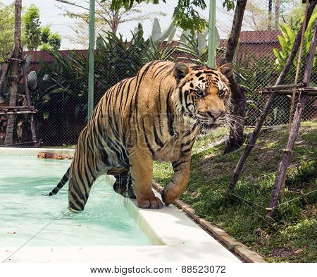 Tiger coming out of the pool