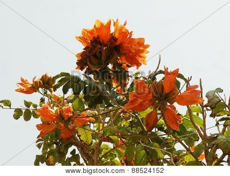 Spathodea campanulata blossom