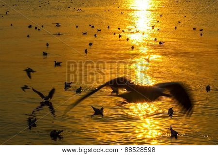Golden Seagull Play On Water