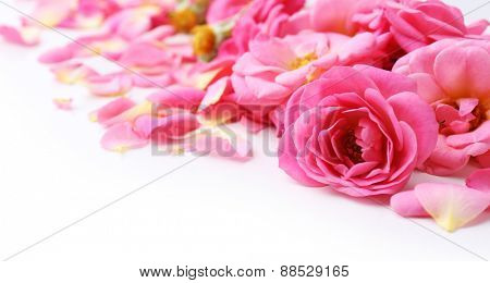 Beautiful pink rose petals, closeup