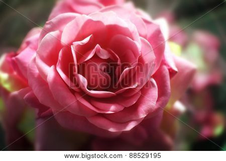 Beautiful pink rose, closeup