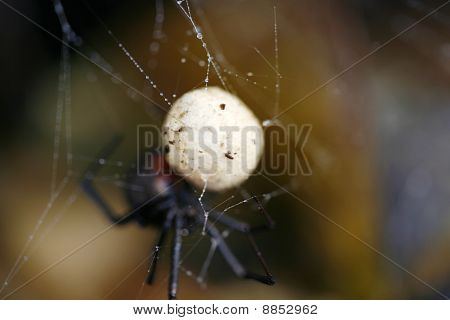 Australian Redback Spider Egg Sac