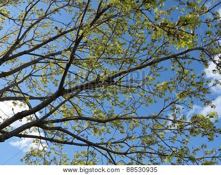 Tree starting to bud in spring with beautiful blue sky
