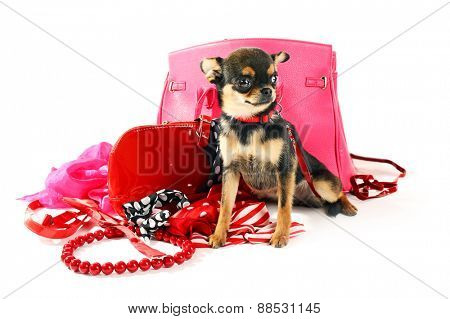 Cute chihuahua puppy with female bags isolated on white