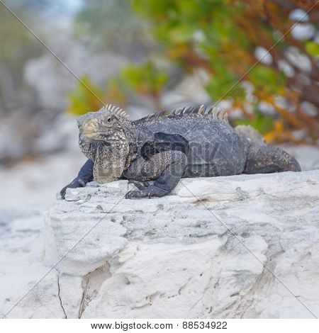Island iguanas in wildlife. Cayo Largo