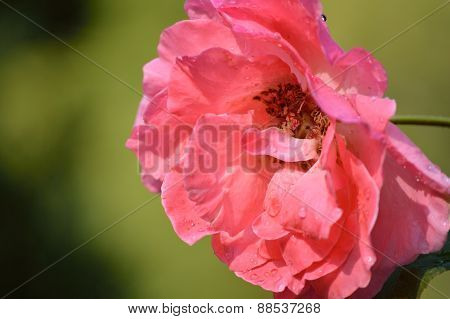 Old-fashioned Coral Pink Rose