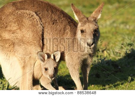 Kangaroo mother grazing with Cub looking out of Pouch