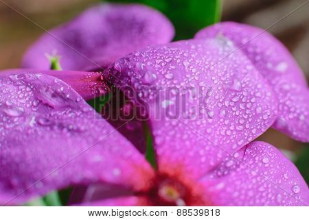 Beautiful Vinca Flowers And Drop