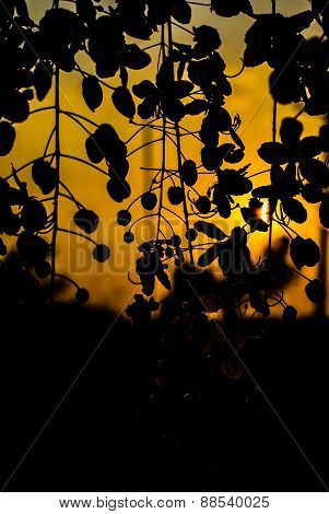 Golden Shower Tree  Silhouette