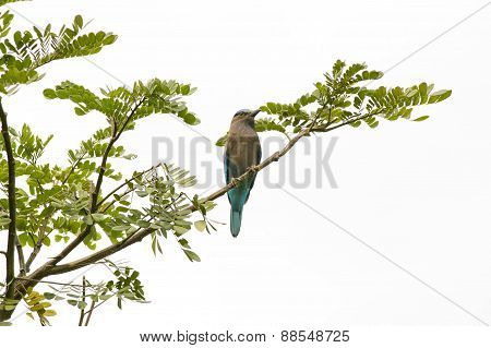 Blue Indian Roller On A Branch