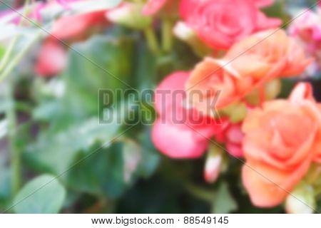 Blurry Defocused Image Of Orange Begonia Flower For Background