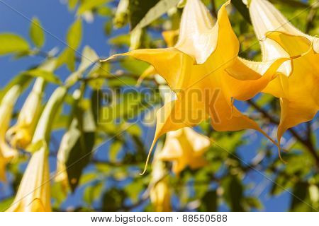 Yellow Datura Flower