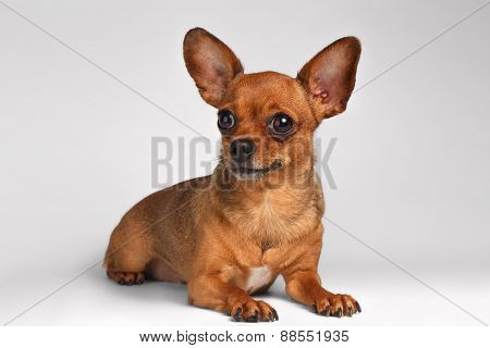 Brown Toy Terrier Liying on White Background