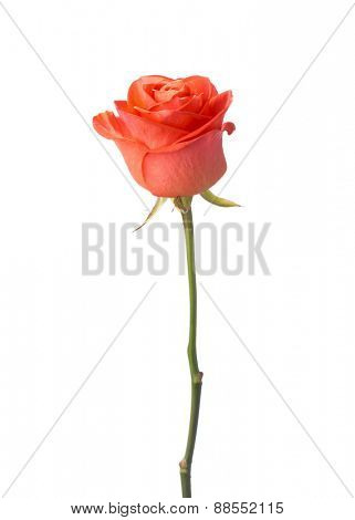 Orange rose isolated on white background.