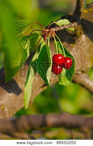 Cherry on the tree