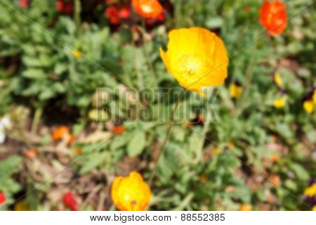 Blurry Defocused Yellow Opium Flower For Background