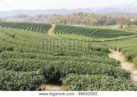 Oolong Tea Farm