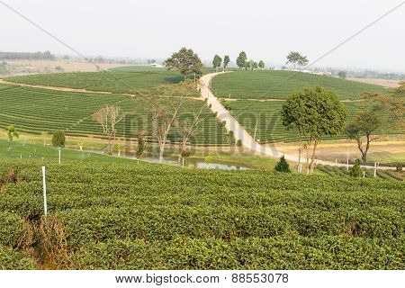 Oolong Tea Farm