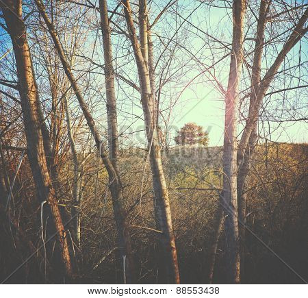 a small tree on a hill framed between large white aspen trees in front toned with a retro vintage instagram filter effect app or action