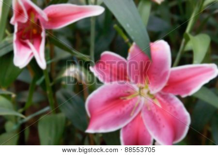 Blurry Defocused Image Of Blooming Pink Lilly In Flowerbed For Background