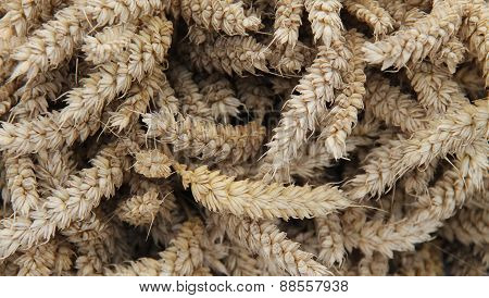 Wheat Stalk Ears.