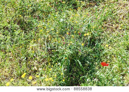 Wild Poppies And Dandelions Flowers In Sicily