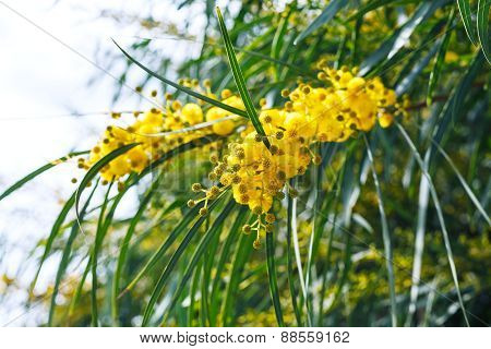 Yellow Flowers Of Mimosa (acacia) Tree Close Up