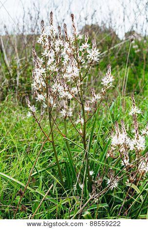 White Asphodelus Albus Flowers At Green Meadow