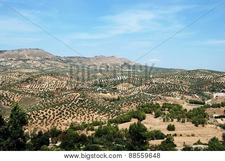 Olive groves, Andalusia.