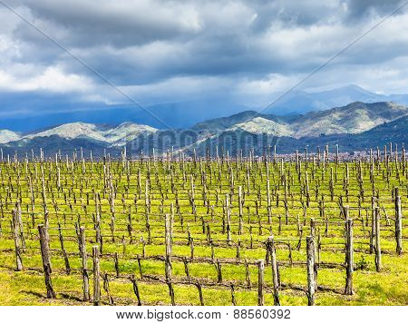 Empty Vineyard In Etna Winemaking Region In Spring