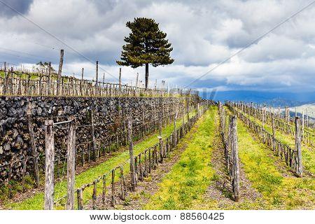 Empty Vineyard In Etna Agrarianl Region In Spring
