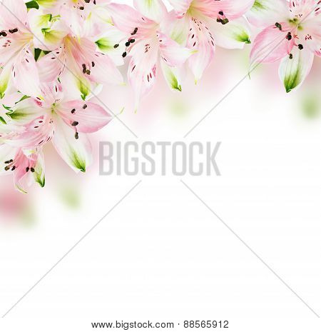Alstroemeria Background