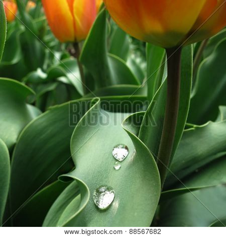 Macro detail of tulips in garden with water drops on leaf for freshness springtime
