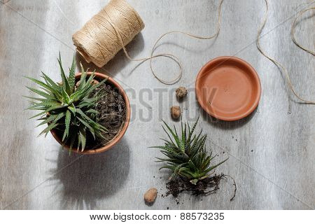 Planting In A Pot With Skein Of Thread On Gray Background