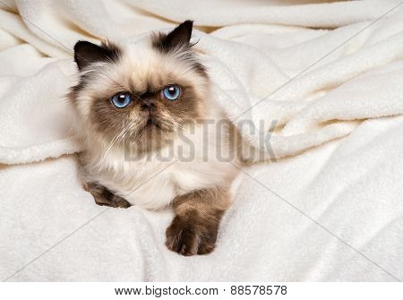 Cute Young Persian Seal Colourpoint Kitten Lying On A Soft Bed