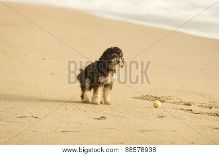Dog On Beach With Ball