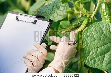 Bio technician inspecting cucumber plants in greenhouse