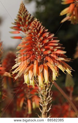 Flowers Kniphofia Closeup In The Garden. Vertical