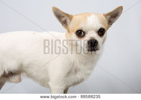 Closeup Portrait Of White  Chihuahua Against Grey Background