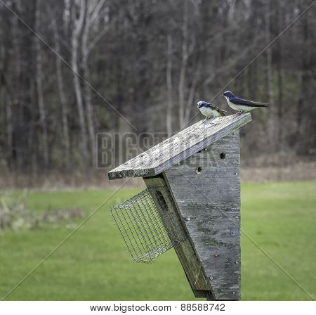 Swallows On A Birdhouse